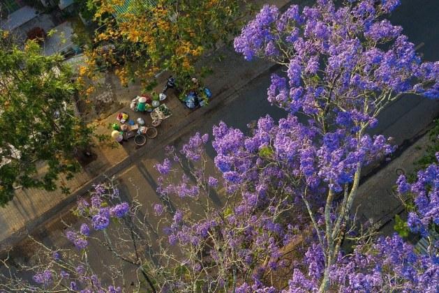 Jacaranda flowers add charm to Vietnam's 'Little Paris'