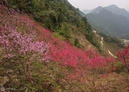 Forest peach casts northern Vietnam mountain in pink
