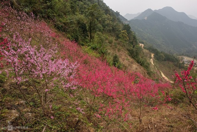 Forest peach casts northern Vietnam mountain in pink