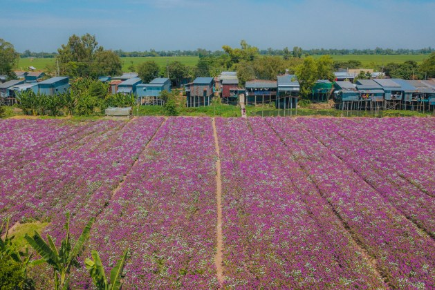 Periwinkle flowers in full bloom in Mekong Delta