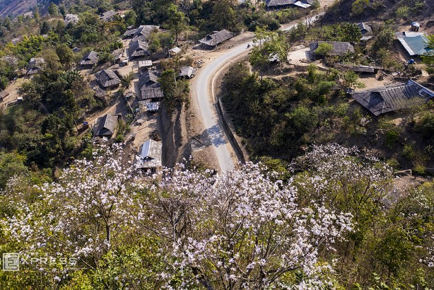 Bauhinia flowers cast a spell over northern mountainous region
